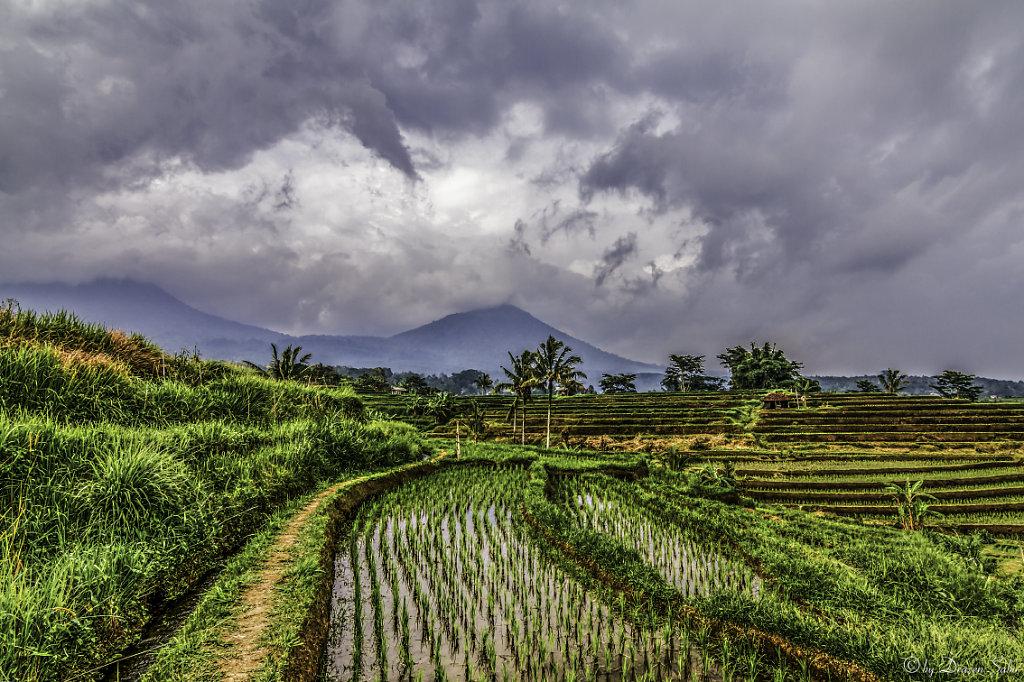 rice field jatiluwih, Bali
